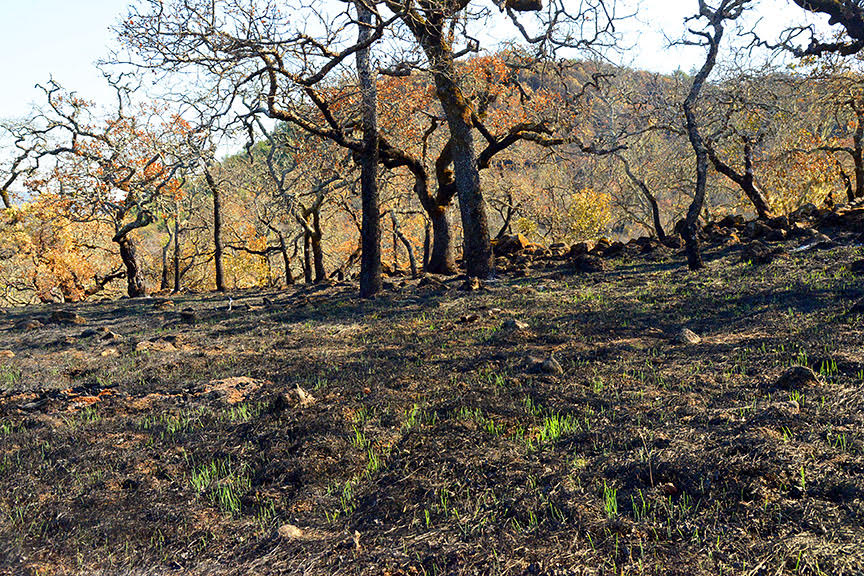 Image of new grass appearing on a burned slope near Glen Ellen. Nov. 1, 2017; Scott Hess.